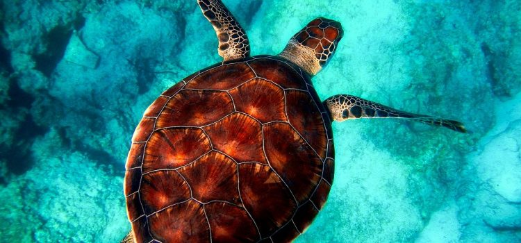 couette tortue